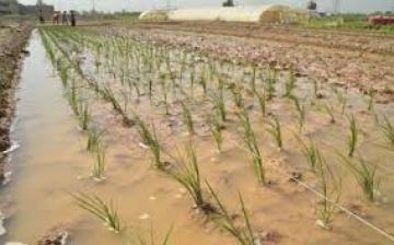 الزراعة: تنفيذ برنامج إكثار بذور الرتب العليا لمحصول الرز